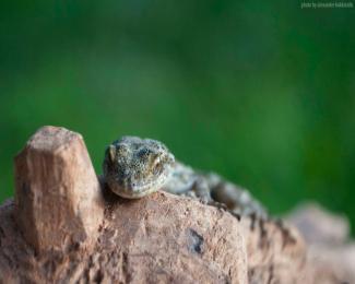 icarian lizard spieces by Alexander Kokkinidis
